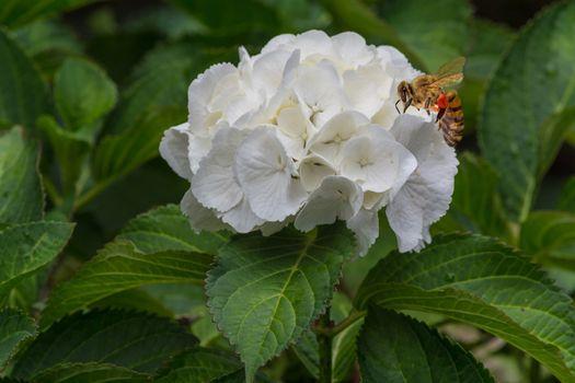 White hydrangea blossom with honey bee.