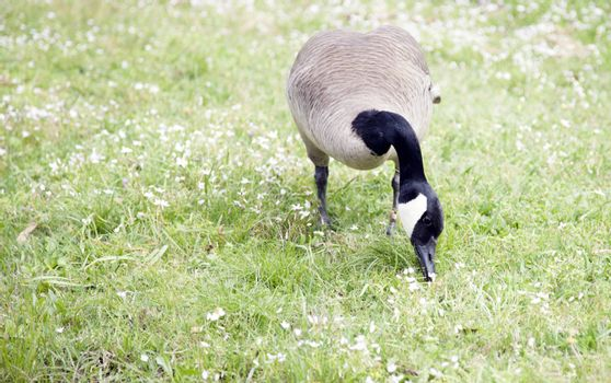 Canada goose foraging for food