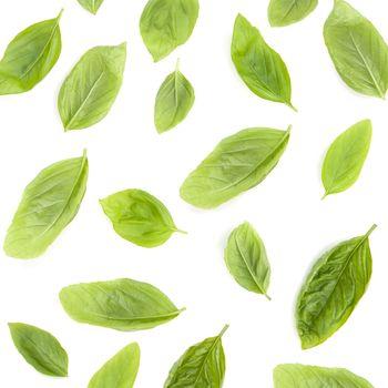 Fresh sweet basil leaves isolated on white background. Sweet bas