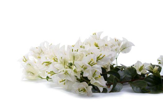 Branch of white Bougainvillea