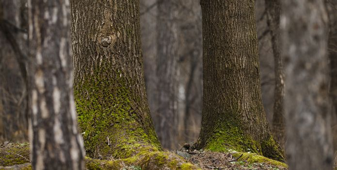 Background of beautiful coniferous trees with moss in forest.