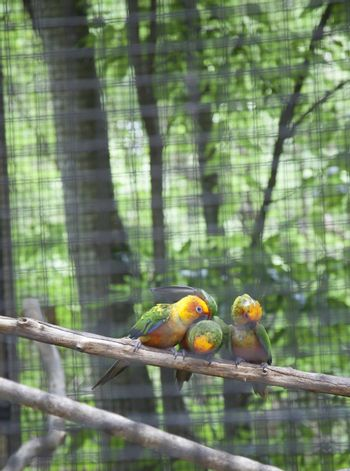 Two sun conures in a cage