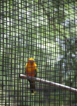 Sun conure in a cage