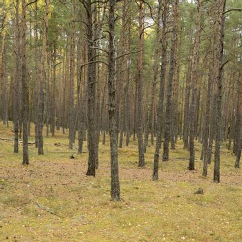 Many pine trunks in the forest.