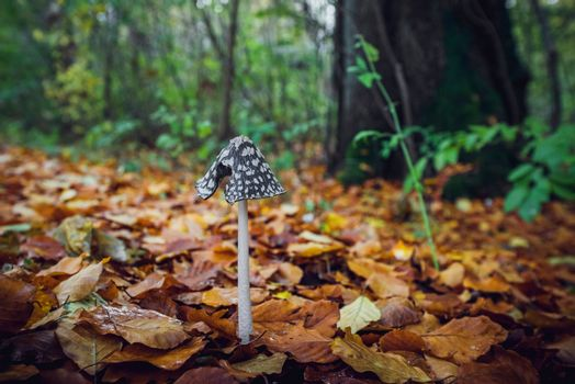 Coprinopsis picacea mushroom with a tall stalk