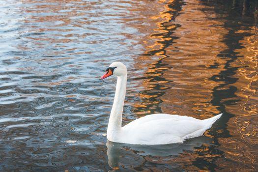 White swan swimming in a lake
