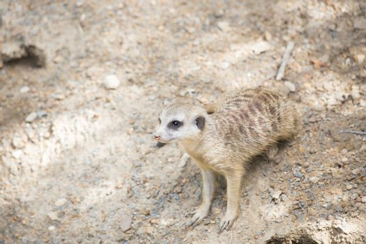 Meerkat ready to scurry