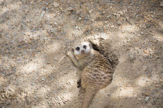 Meerkat in a burrow