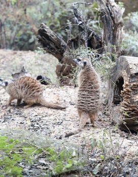 Meerkats standing guard