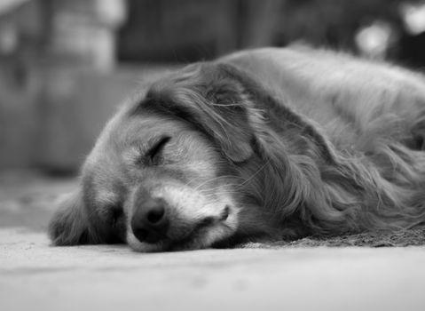 BLACK AND WHITE PHOTO OF SLEEPING GOLDEN RETRIEVER