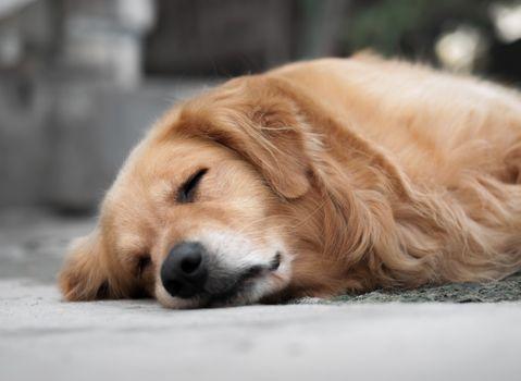 COLOR PHOTO OF SLEEPING GOLDEN RETRIEVER