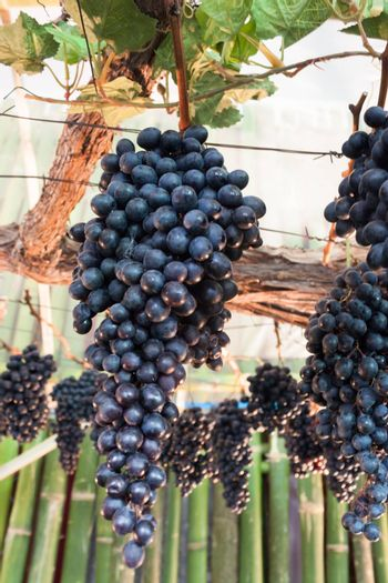 Bunches of grapes hang from a vine, stock photo