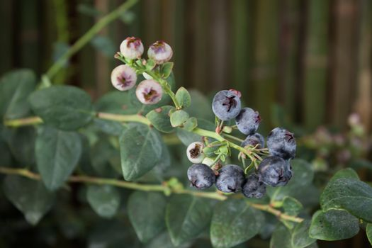 Blueberries ripening on the bush, stock photo