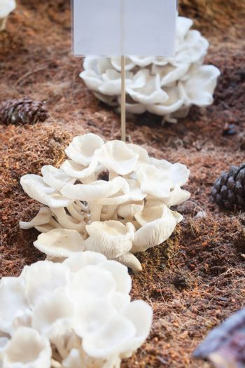 Fresh oyster mushrooms for display, stock photo