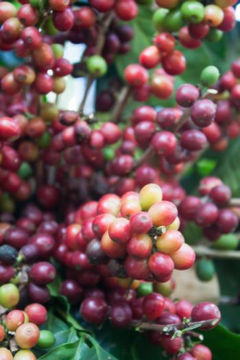 Coffee seeds on a coffee tree, stock photo