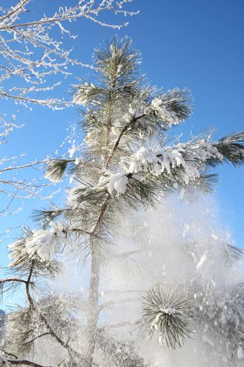 Snow falling from a tree against blue skies