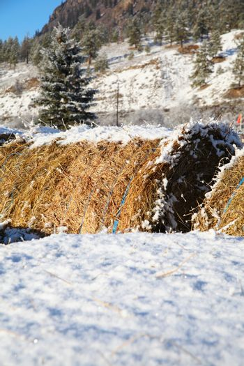 Snow covered round bales of hay on a farm