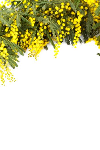 Branch of mimosa ,isolated