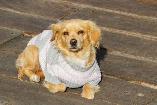 Little beige dog