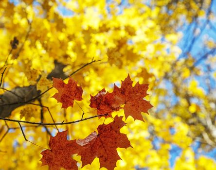 Red and yellow leaves on maple tree in October