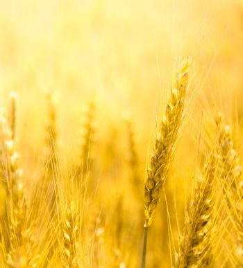 Close up view of wheat ear. Light yellow background