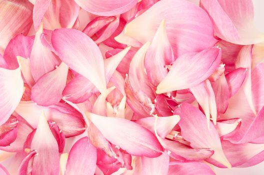 pink petal lotus flower.