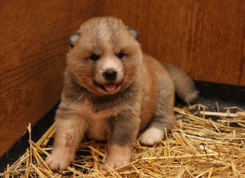 Cute  newborn Akita Inu puppy