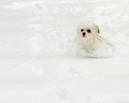 Little dog is making a trail through the snow