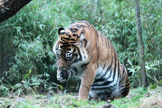 Sumatran Tiger rare and endagered lick paw