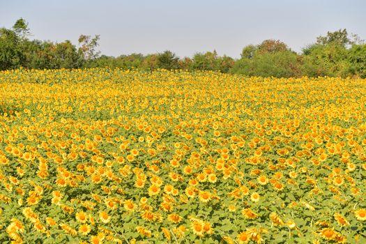 Sunflowers bloom in fields in autumn at Thailand.