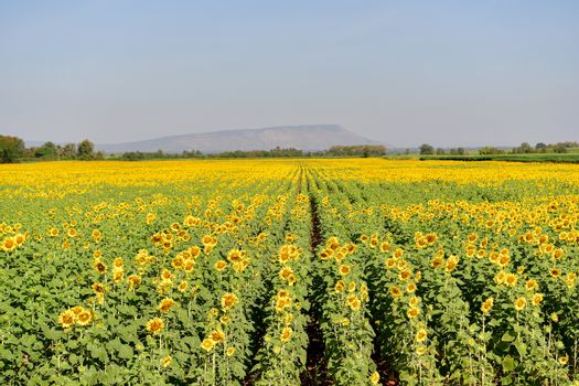 Sunflowers bloom in fields in autumn at Thailand.