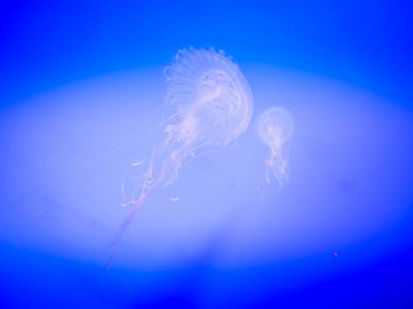 Jellyfish in Hanwah Aqua Planet Jeju, located nearby Seopjikoji and offers versitle features, including an aquarium as the main attraction, Marine Science, Kiz Planet and many more convenience facilities.