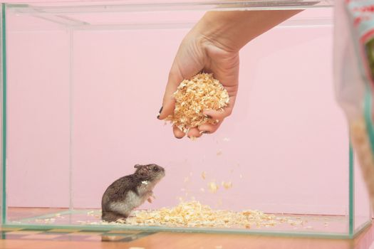 She changes the sawdust in the aquarium which contains a hamster