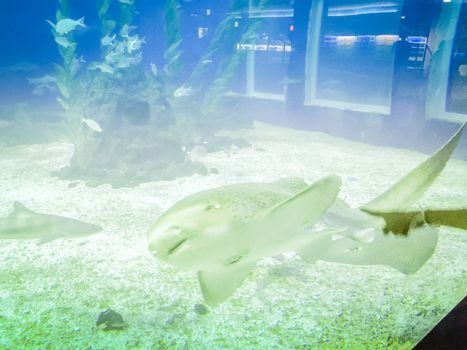 Whale shark in Hanwah Aqua Planet Jeju, located nearby Seopjikoji and offers versitle features, including an aquarium as the main attraction, Marine Science, Kiz Planet and many more convenience facilities.