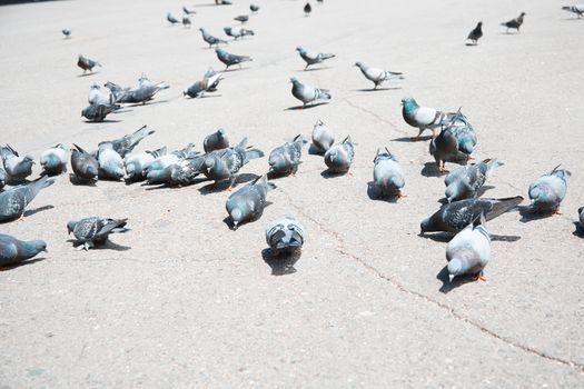 Flock of pigeons on a London street