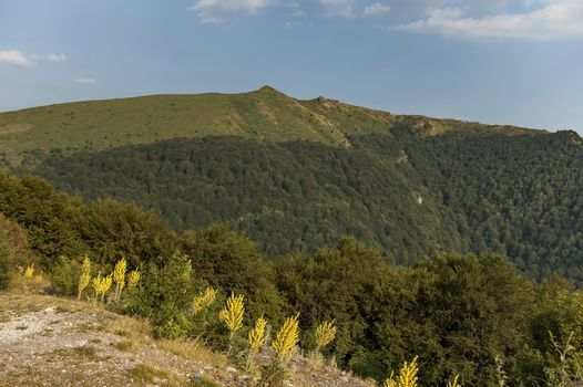 Mountain landscape at Central Balkan mountain with mullein or Verbascum flower