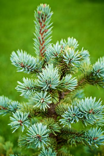 Young Spruce Shoots