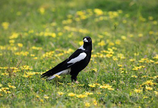 Australian Magpie Cracticus tibicen