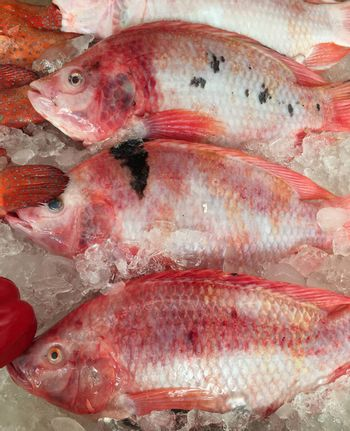 Tilapia raw fish on ice in market.  Red fresh fishes.