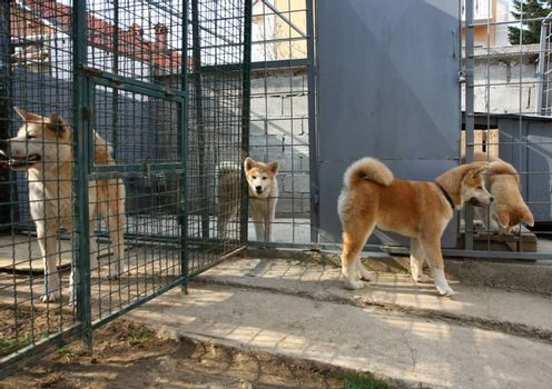 Curious Akita Inu puppy visiting his relatives