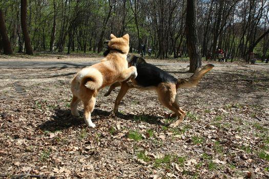 Puppies of Akita Inu and German shepherd palying in public park