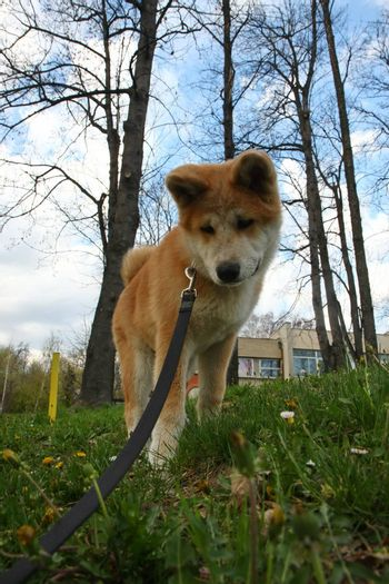 Unhappy Akita Inu puppy returns from walking
