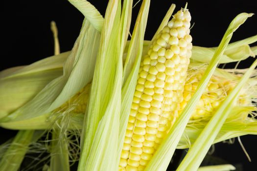 Fresh corn on the cob or sweet corn over a black background with the outer leaves peeled back to reveal the succulent kernels