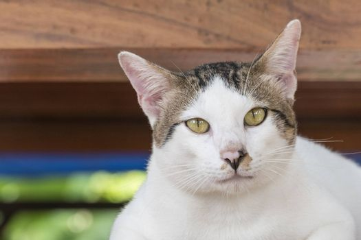 Portrait of cute male Thai cat looking at camera