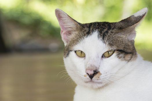 Portrait of cute male Thai cat