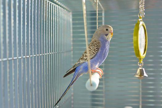 Indigo Budgerigar parrot