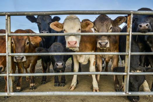 livestock behind a fence
