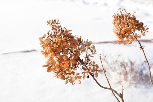 Wild plants in snow