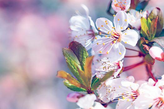 Beautiful fruit tree blooming
