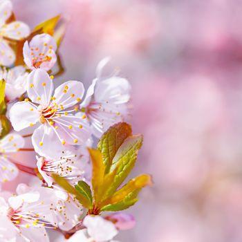 Beautiful apple tree blooming